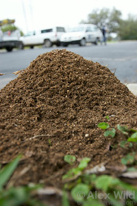 The distinctive soil mounds of the fire ant Solenopsis invicta help ants maintain humidity and temperature levels ideal for brood development.  Austin, Texas, USA