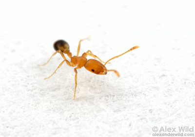 Monomorium pharaonis, the pharaoh's ant, among the most prevalent indoor ant pests.  Panama City, Panama