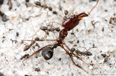 Paratrechina longicornis crazy ants scavenging a trap-jaw ant carcass.  Paratrechina group-transport their food, a rapid method, allowing them to secure resources before slower but more aggressive competing species.  Archbold Biological Station, Florida, USA