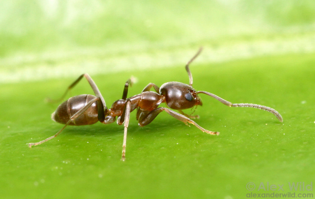 Linepithema humile, the Argentine ant.  Davis, California, USA