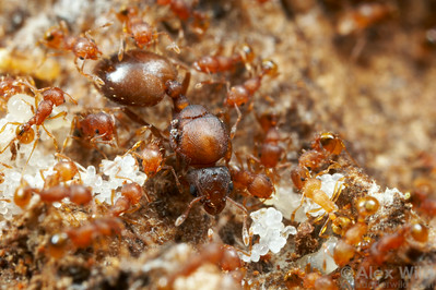 Queen ants are the fertile females in the nest specialized for reproduction.  In some ant species, such as the little fire ant Wasmannia auropunctata, queens are much larger than the sterile workers.  Gamboa, Panama