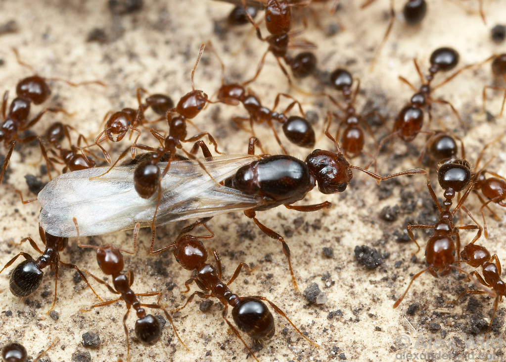 Solenopsis invicta, young alate queen in the nest.  Austin, Texas, USA