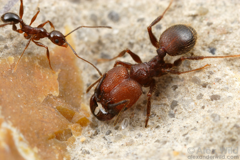 Pheidole obscurithorax is a South American native that has been introduced to the U.S. gulf coast.   Pensacola, Florida, USA