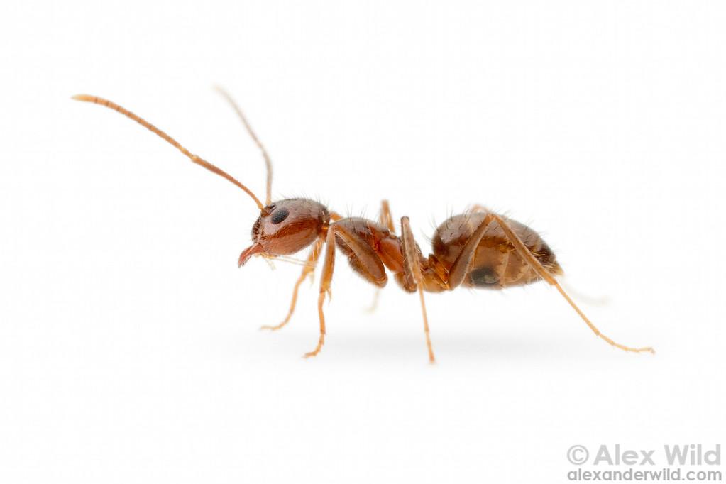 Portrait of a hairy crazy ant Nylanderia sp. nr. pubens.  Morretes, Paraná, Brazil