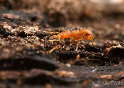 Pyramica eggersi worker foraging through the leaf litter.  Archbold Biological Station, Florida, USA
