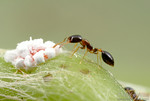 Monomorium floricola ranks among the most traveled of all ants.  This diminutive species has spread with human commerce to nearly every lowland tropical region.  Here, a worker tends to a me ...