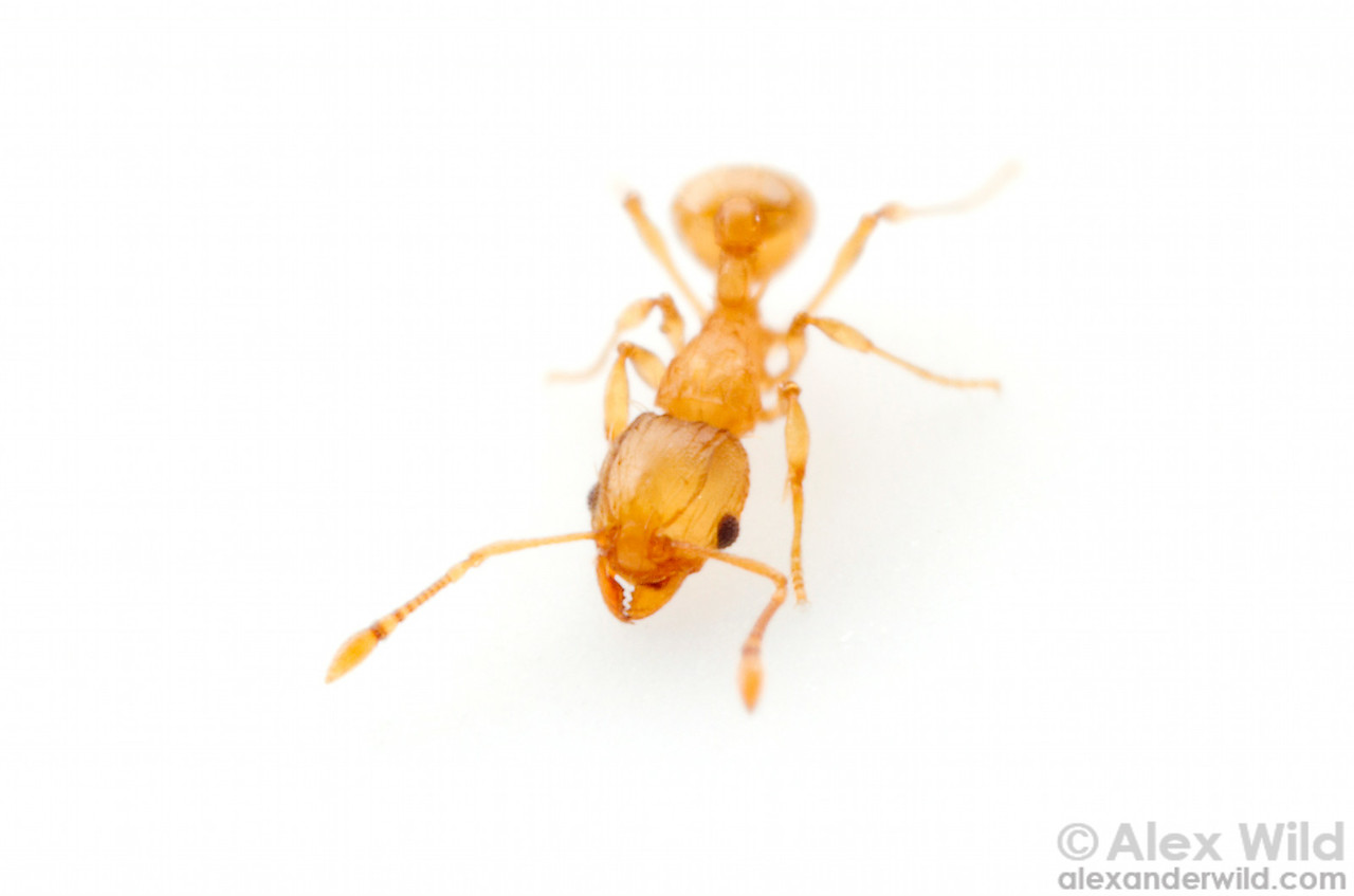 Wasmannia auropunctata, the little fire ant.  Orlando, Florida, USA