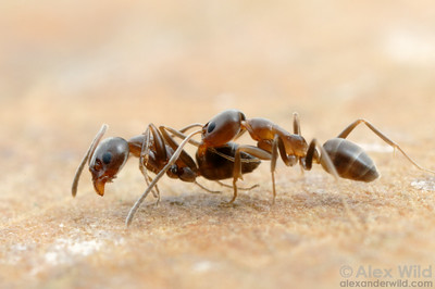 Argentine ants (Linepithema humile) fighting.  Argentine ants typically form large supercolonies comprising millions of ants and thousands of nests.  Within these massive supercolonies fighting is rare, but ants from neighboring supercolonies readily attack each other.  Córdoba, Argentina