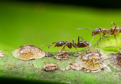 Argentine ants (Linepithema humile tending scale insects on an orange tree in suburban California.  Davis, California, USA