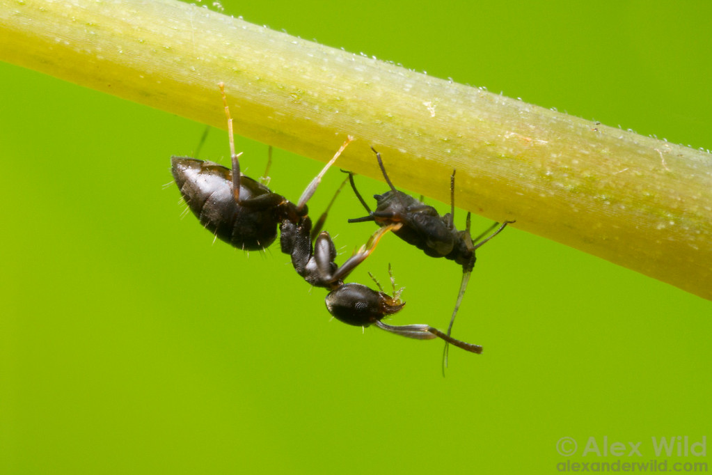 A Technomyrmex difficilis worker tends an aphid for honeydew.  Orlando, Florida, USA
