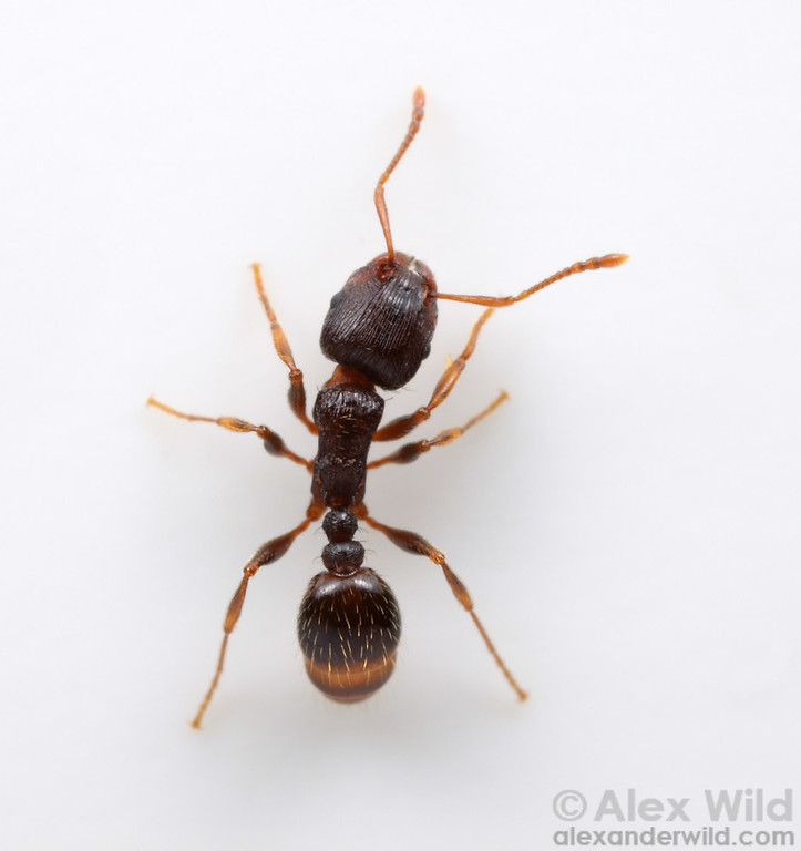 """Tetramorium """"species E"""".  This species was known as Tetramorium caespitum until recently, when detailed taxonomic and genetic work revealed that these common sidewalk ants were distinct from the Eurasian T. caespitum.   Champaign, Illinois, USA"""
