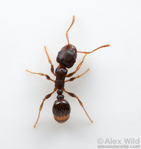 "Tetramorium ""species E"".  This species was known as Tetramorium caespitum until recently, when detailed taxonomic and genetic work revealed that these common sidewalk ants were distinct from the Eurasian T. caespitum.   Champaign, Illinois, USA"