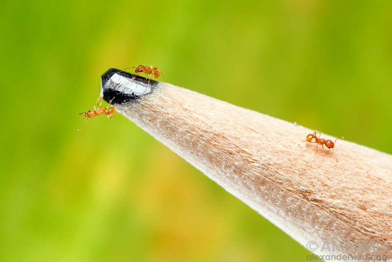 How small is Wasmannia auropunctata, the little fire ant? Small enough to dance on the point of a pencil!  Orlando, Florida, USA