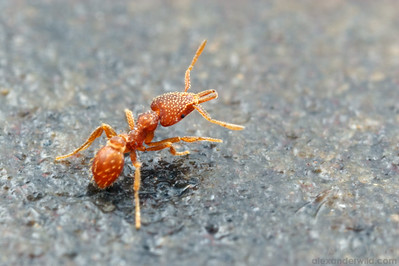 Strumigenys louisianae is a tiny trap-jaw ant that has traveled around the world with human commerce.  Tucson, Arizona, USA