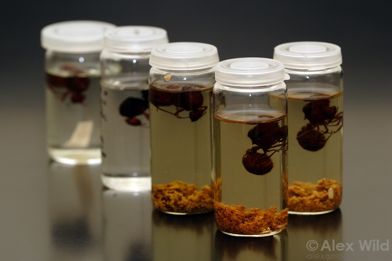 Specimens of Atta leafcutter queens stored in ethanol with samples of their fungus.  University of Texas