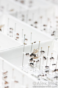 Ant specimens preserved in a museum collection.