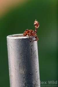 Cephalotes umbraculatus turtle ant fighting an aspirator.  Archidona, Napo, Ecuador