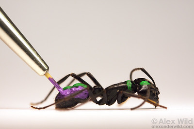 Marking an ant with a unique pattern of paint allows researchers to keep track of her activities in a laboratory colony.  University of Illinois at Urbana-Champaign, Illinois, USA