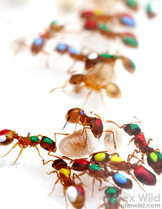 Temnothorax rugatulus.  Ants in this laboratory nest are individually marked with dabs of paint to help researchers at the University of Arizona track their activities.   Tucson, Arizona, USA