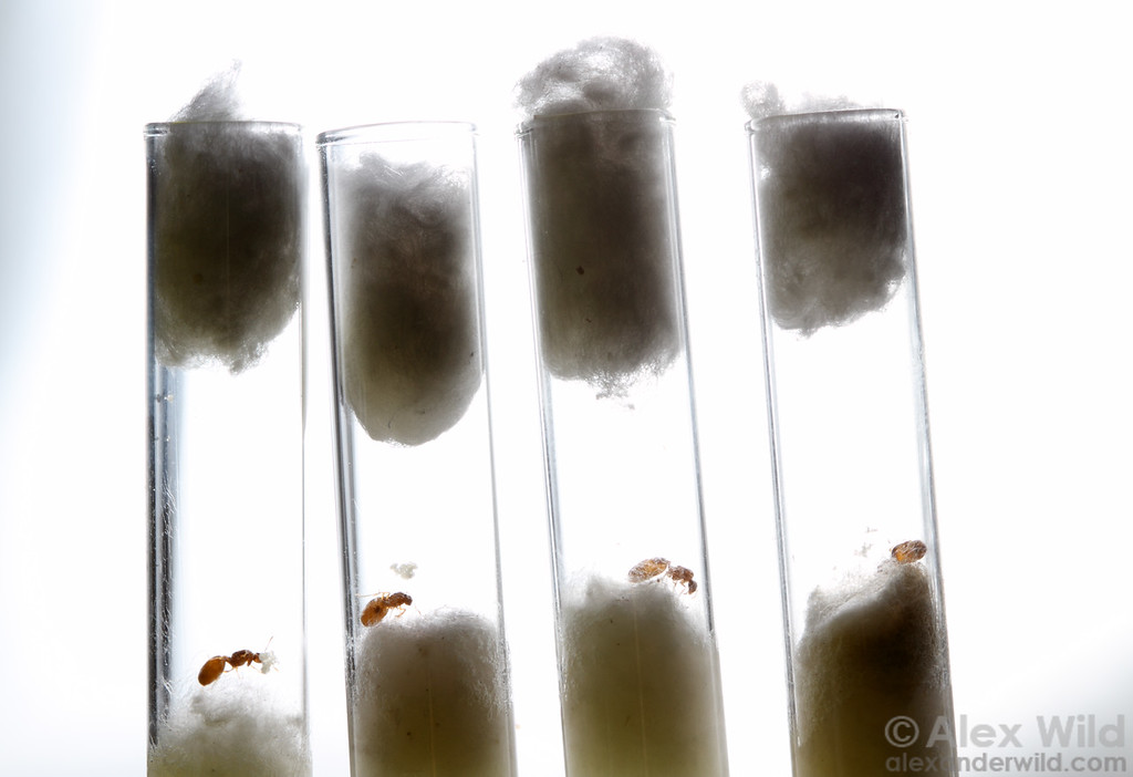 Myrmecologists often start new laboratory colonies from young mated queens. These Solenopsis molesta thief ant queens were collected after a midsummer mating flight and are now raising their first brood.  University of Illinois at Urbana-Champaign, Illinois, USA