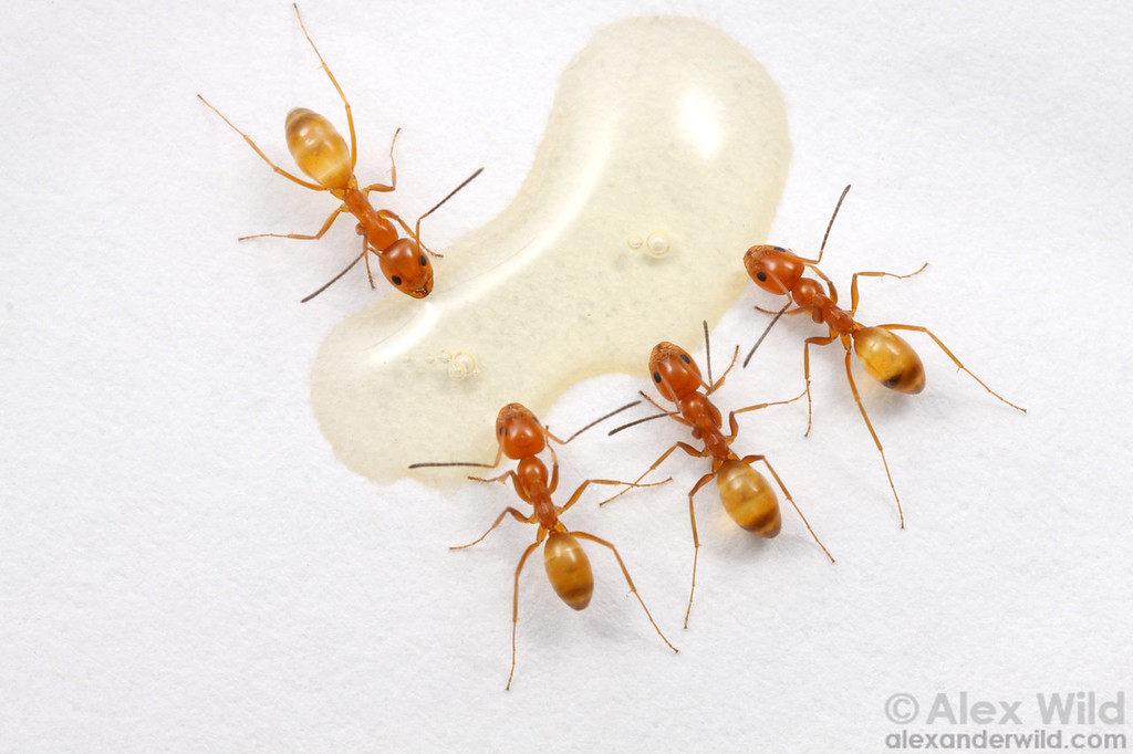 Myrmecologists often use baits to study the ecology of ants in the field.  Here, Dorymyrmex bureni feed at a honey bait.  Archbold Biological Station, Florida, USA
