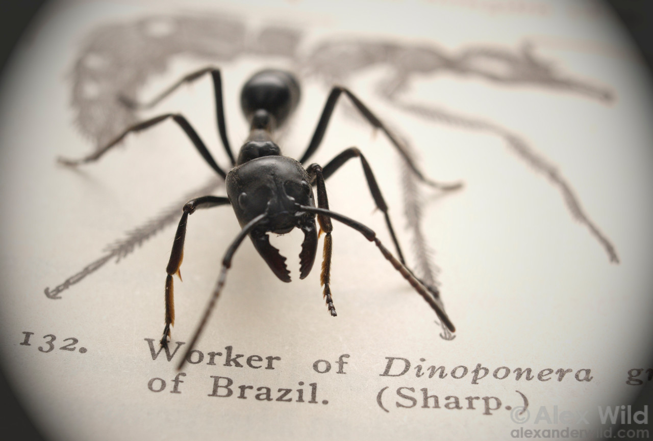 "Dinoponera australis, posing on a page from William Morton Wheeler's classic 1910 text ""Ants: their structure, development, and behavior"".  Misiones, Argentina"