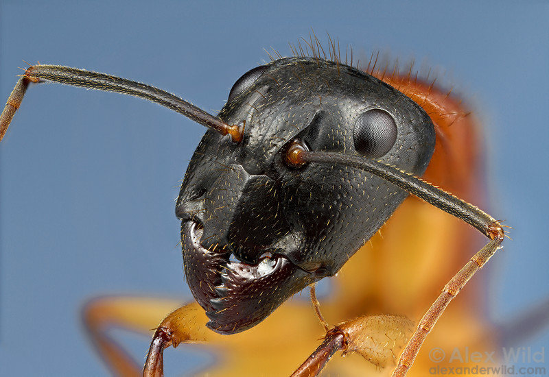 Camponotus nigriceps - sugar ant. This image is a focused-stacked composite of 110 exposures taken at different focal depths.  Victoria, Australia