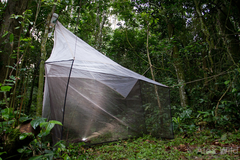 A Malaise trap collects insects in an African rainforest. When insects hit the central netting, they fly upwards towards the light and get caught in the sample jar at the top. As not all species are attracted to lights, Malaise traps have been an important general method for sampling winged ants.  Kibale forest, Uganda