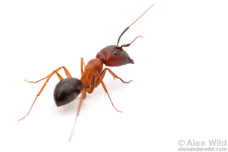 A major worker of the Florida Carpenter Ant Camponotus floridanus, one of the first ant species to have its genome sequenced.  Archbold Biological Station, Florida, USA