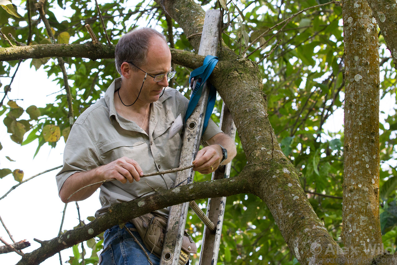South African myrmecologist Peter Hawkes searches for a nest of arboreal Camponotus after tracking foragers into the canopy.   Kibale Forest, Uganda