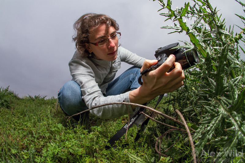 Myrmecologist Andrea Lucky photographing insects on an invasive thistle at Paynes Prairie State Park. Lucky is an expert on the evolution and taxonomy of Australia's charming spider ants.  Gainesville, Florida, USA