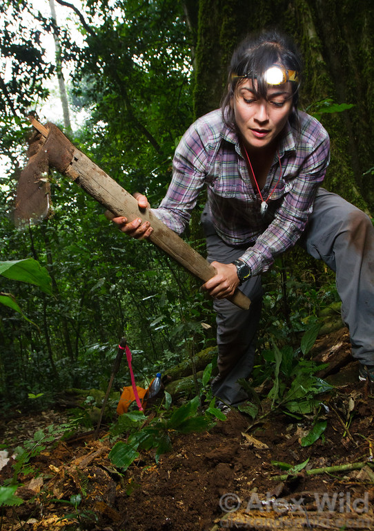 Flavia Esteves (Universidade de São Paulo) breaks up rainforest soil to look for rare species at Ant Course 2012 in Uganda.