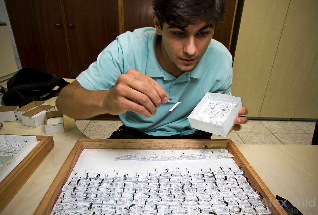 Myrmecologist Júlio Chaul sorts ponerine ants at the collection in Viçosa, Minas Gerais. Natural history collections are vital repositories of information.  Viçosa, Minas Gerais, Brazil