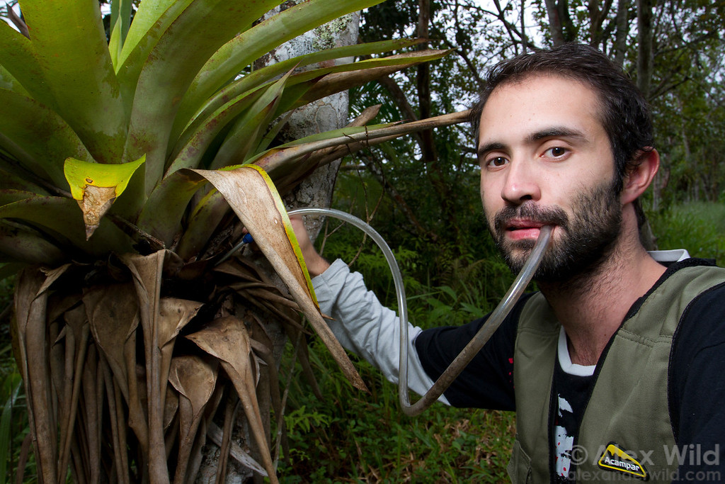 Mathematical ecologist Felipe Neves, a graduate student at the Universidade Federal do Paraná, demonstrates the use of an aspirator to collect ants.  Morretes, Paraná, Brazil