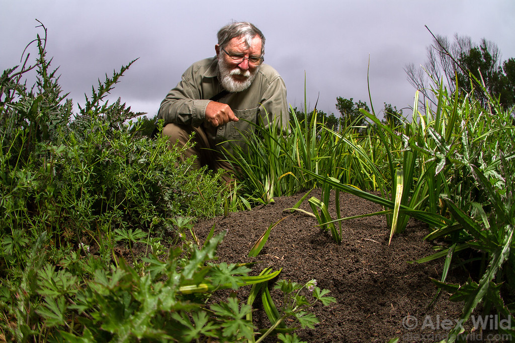 Retired USDA myrmecologist Lloyd Davis surveys a large Solenopsis invicta red imported fire ant mound at Paynes Prairie State Park.  Gainesville, Florida, USA