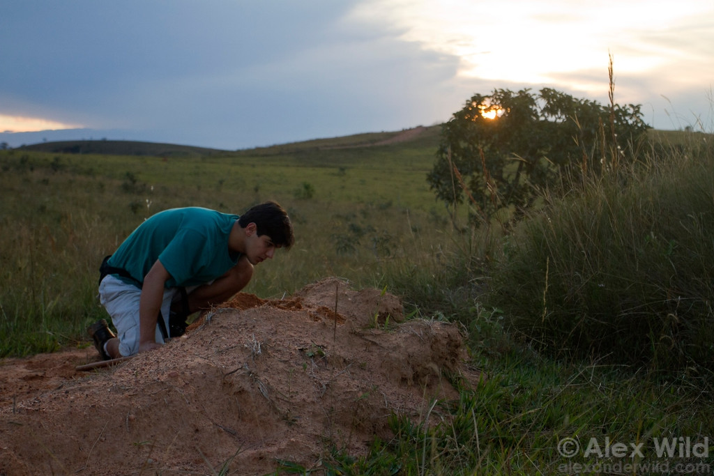 As the sun sets over a grazed cerrado remnant, Júlio Chaul looks for ants nesting in disturbed soil.  Carrancas, Minas Gerais, Brazil