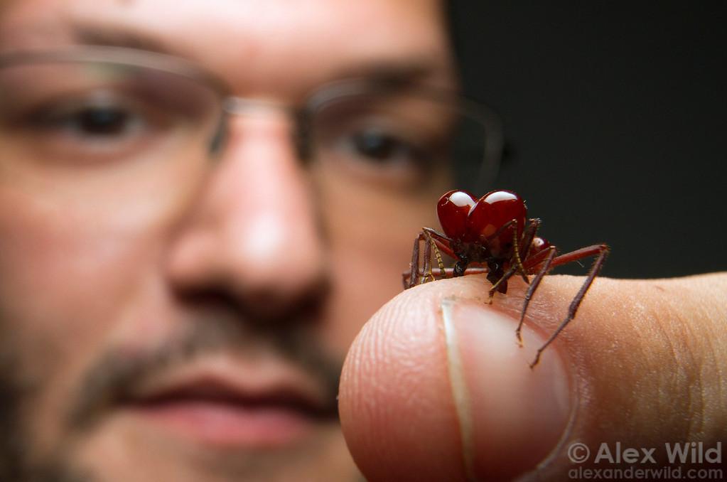 "Myrmecologist Ricardo (""Bob"") Solar ponders the sharp mandibles of an Atta laevigata soldier, the world's largest leafcutter ant.   Carrancas, Minas Gerais, Brazil"