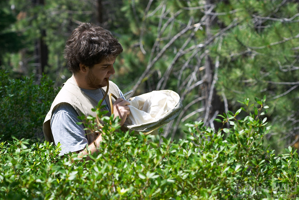Brian O'Meara collects insects swept from low vegetation.