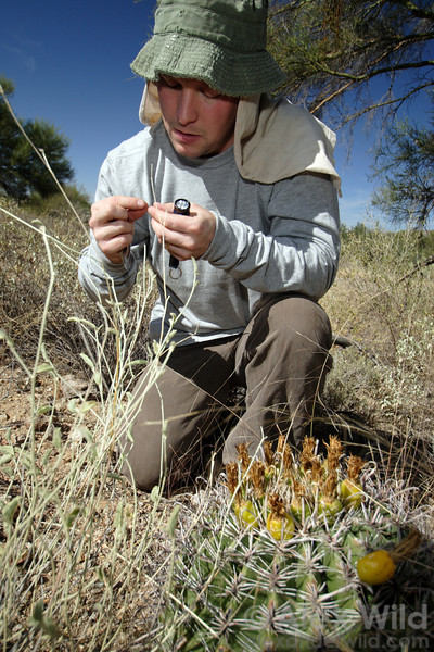 Scott Powell examines ants collected from the nectaries of a barrell cactus in southern Arizona.
