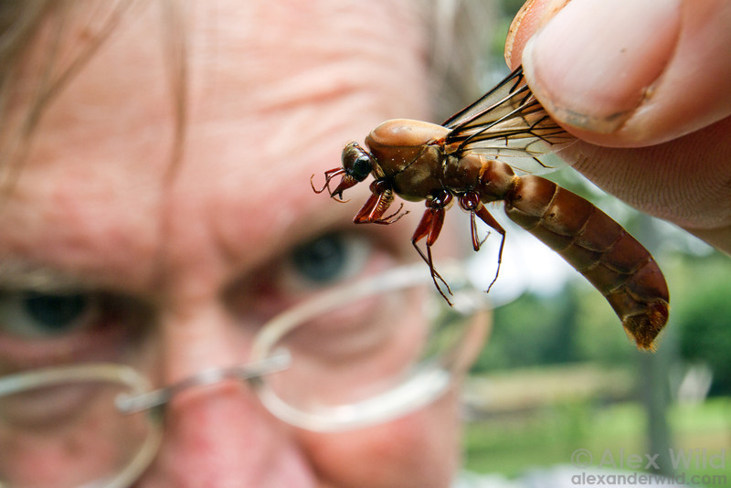 Myrmecologist Jack Longino takes a good look at a male Dorylus driver ant. These enormous insects are specialized for dispersal and mating, looking very little like their more typycally ant-like sisters.  Kibale Forest, Uganda