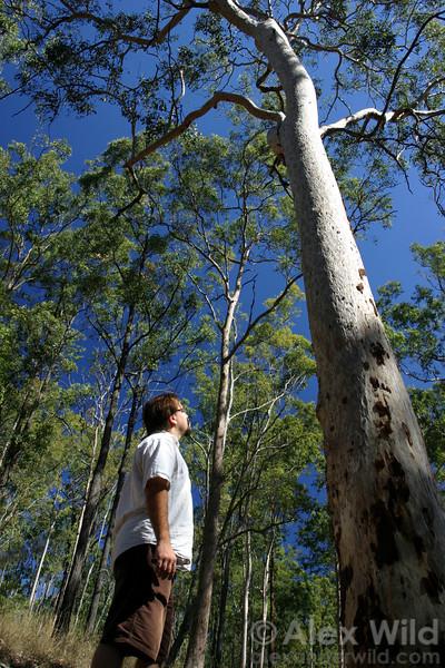 Andy Suarez watches Myrmecia bull ants scale a tree near Brisbane, Australia.
