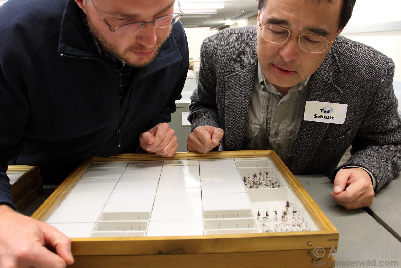Christian Rabeling and Ted Schultz, both experts on attine ants, examine specimens in the Chicago Field Museum.