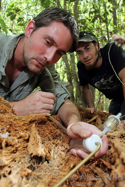 Benoit Guenard (left) and Eli Sarnat collect ants from a rotting log in a coastal forest in North Carolina.