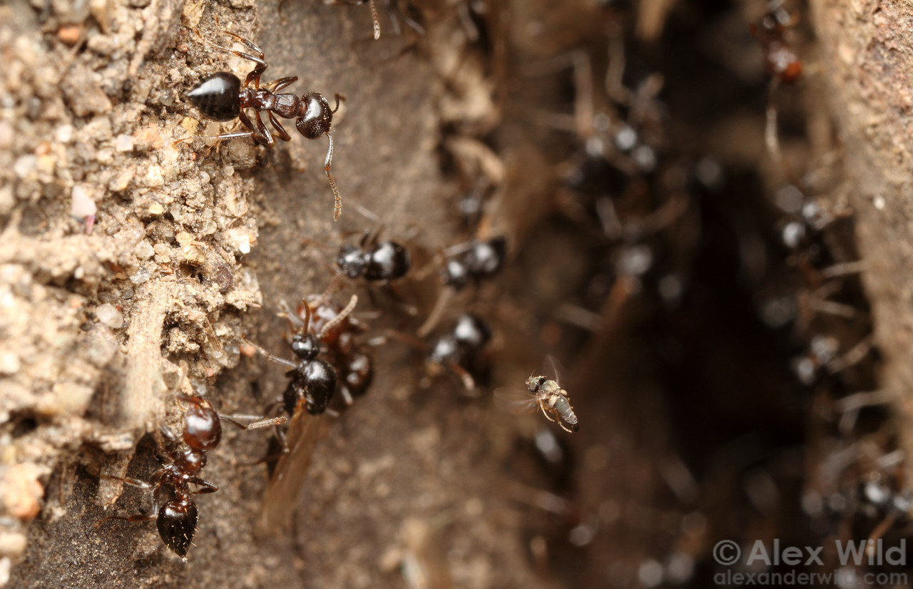 A mating flight of Crematogaster cerasi acrobat ants provides a parasitic Pseudacteon fly (at lower right) an opportunity to attack.  Urbana, Illinois, USA