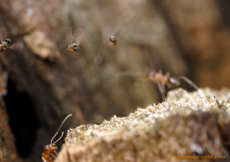 A trio of parasitic phorid flies (Pseudacteon lontrae) hover over an ant nest (Linepithema oblongum) looking for targets.