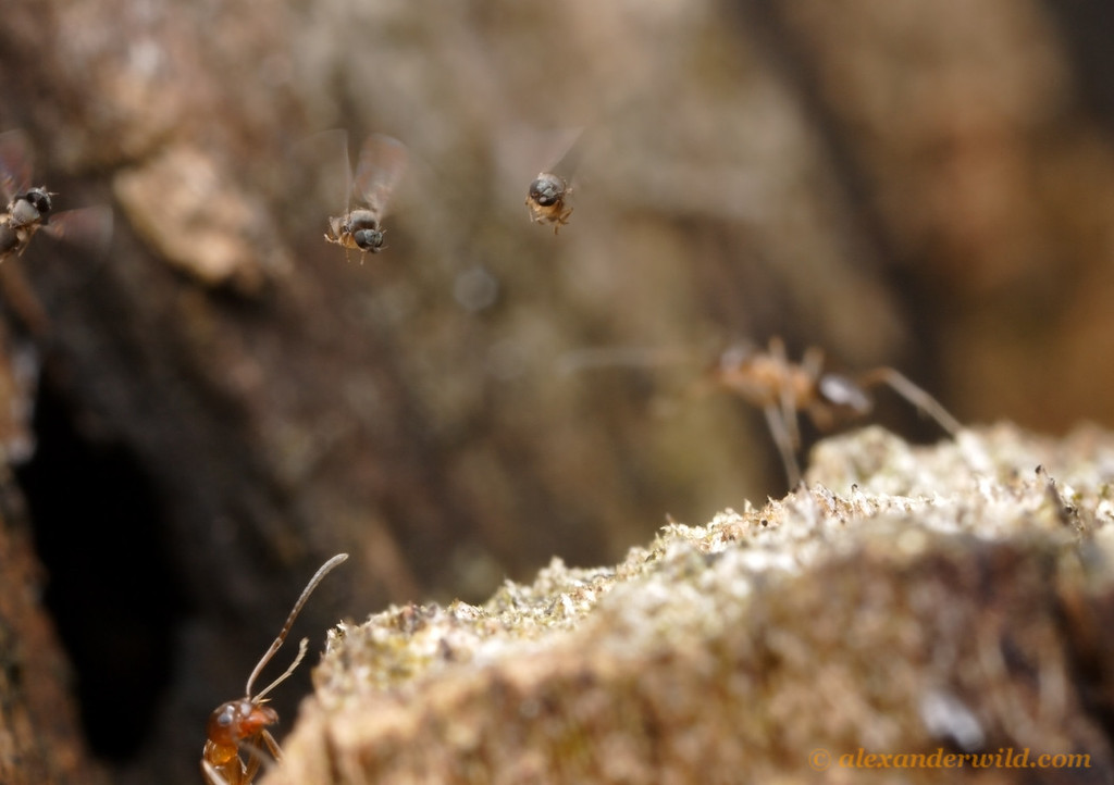 A trio of parasitic phorid flies (Pseudacteon lontrae) hover over an ant nest (Linepithema oblongum) looking for targets.  Termas de Reyes, Jujuy, Argentina
