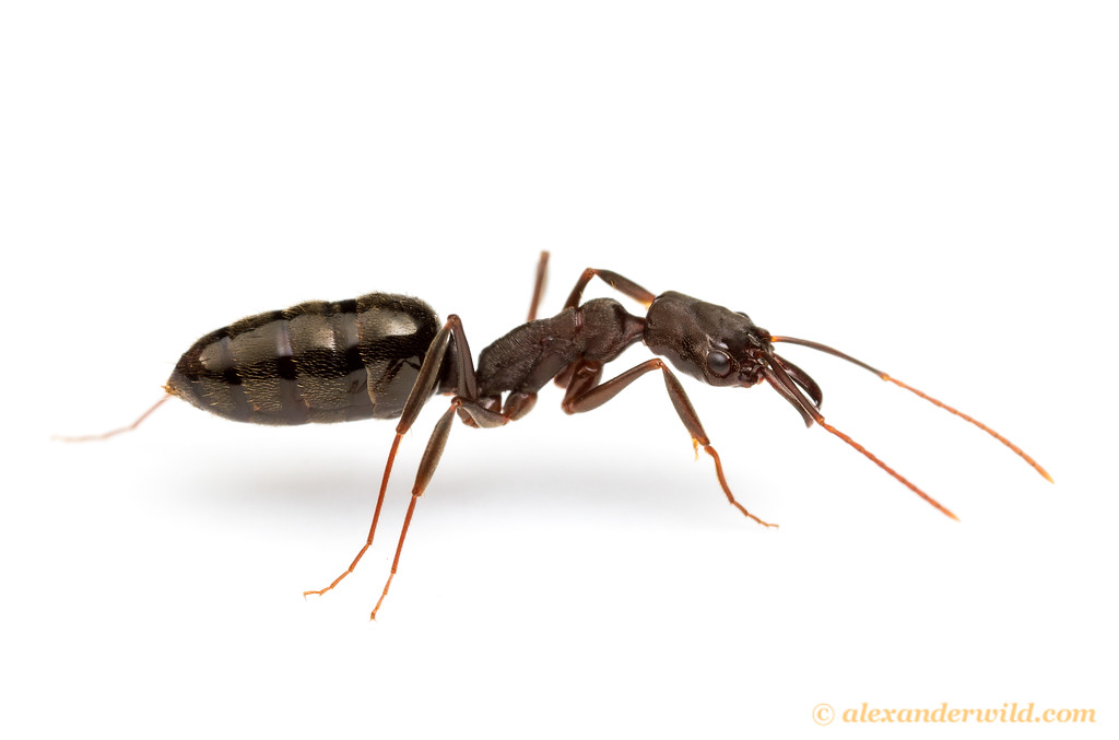 Trap Jaw Ant Florida Trap-jaw Ant Indicates She