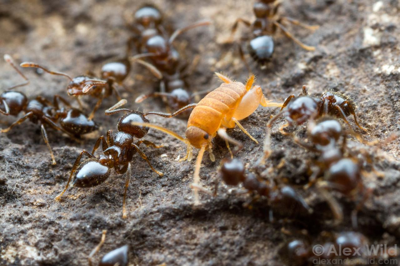 A Myrmecophilus ant cricket in a nest of Crematogaster lineolata.  Konza Prairie, Kansas, USA