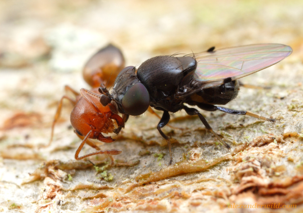 An ant-mugging fly (Milichia patrizii) forces a Crematogaster ant to give up her food stores.  South Africa.  St. Lucia, KZN, South Africa