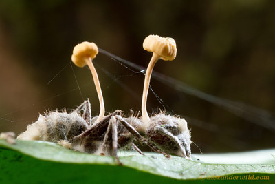 An Ophiocordyceps fungus grows from a Camponotus carpenter ant it has killed.  Armenia, Belize